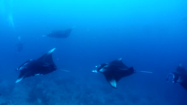 manta ray in indian ocean - maldives, north male atoll - four in a row stock videos & royalty-free footage