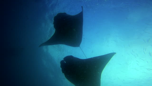 manta ray in the german channel - palau, micronesia - stingray stock videos & royalty-free footage
