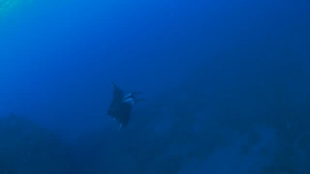 manta ray in the reef - manta ray stock videos & royalty-free footage