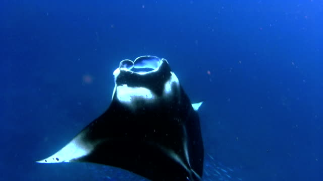 Manta Ray is feeding on Maldives