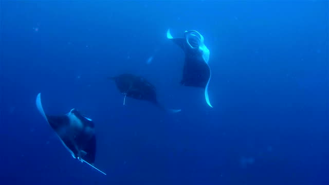 Manta Ray mating dance / copulation on Maldives.