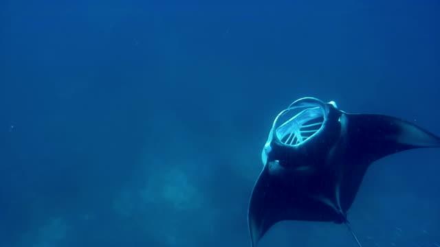 stockvideo's en b-roll-footage met manta ray on maldives - plankton