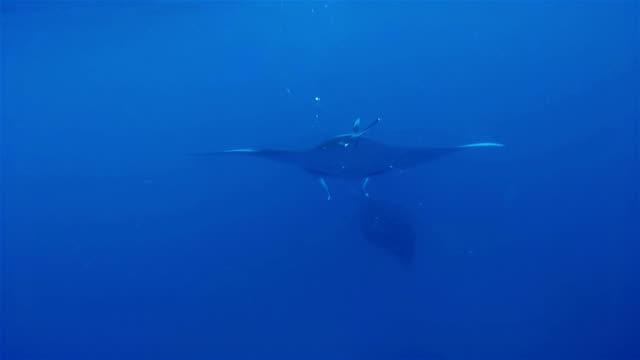manta ray ram feeding on maldives - south ari atoll - ari atoll stock videos & royalty-free footage