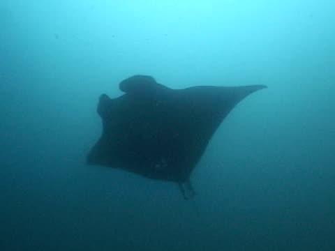 vídeos y material grabado en eventos de stock de manta ray silhouette - grupo pequeño de animales