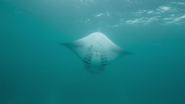 manta ray somersaults as it feeds, indian ocean. - manta ray stock videos & royalty-free footage