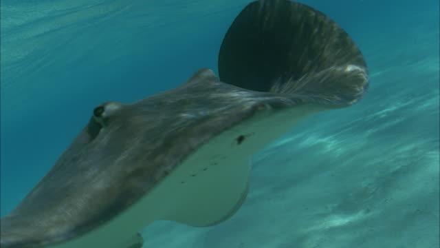 slo mo cu manta ray (manta birostris) swimming at ocean floor / moorea, tahiti, french polynesia - moorea stock videos & royalty-free footage