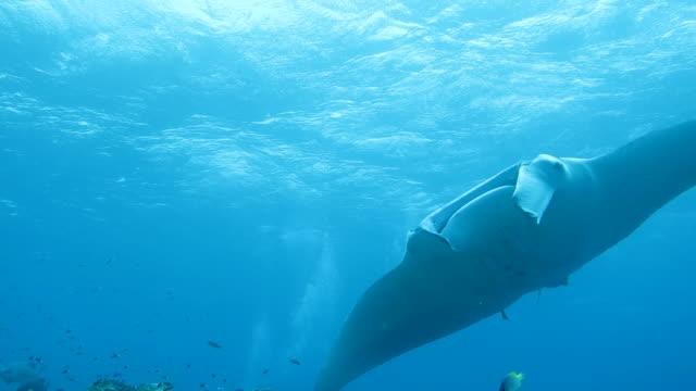 manta ray swimming in ishigaki island, okinawa, japan - manta ray stock videos and b-roll footage