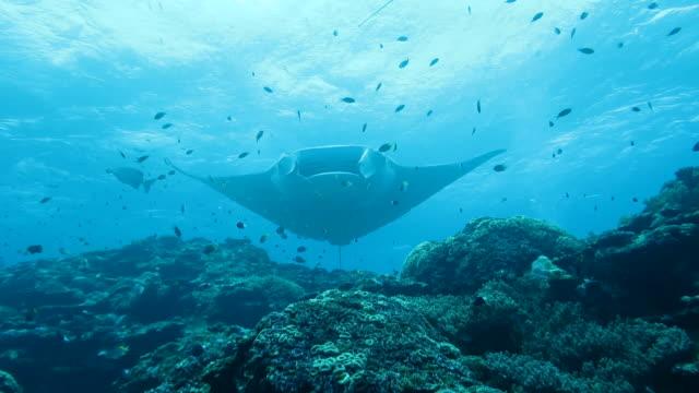 manta ray swimming in ishigaki island, okinawa, japan - okinawa prefecture stock videos & royalty-free footage