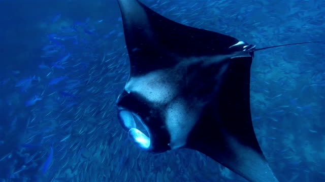 Manta Ray swimming over School of Fusilier Fish