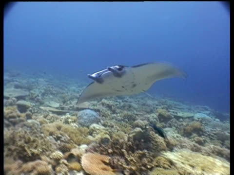 ms manta ray swimming past camera, layang layang, borneo, malaysia - 優美点の映像素材/bロール