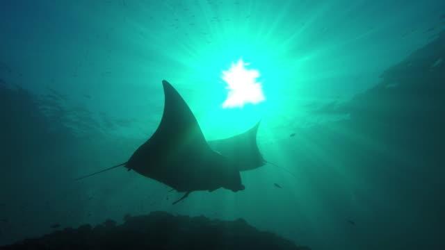 Manta ray swimming