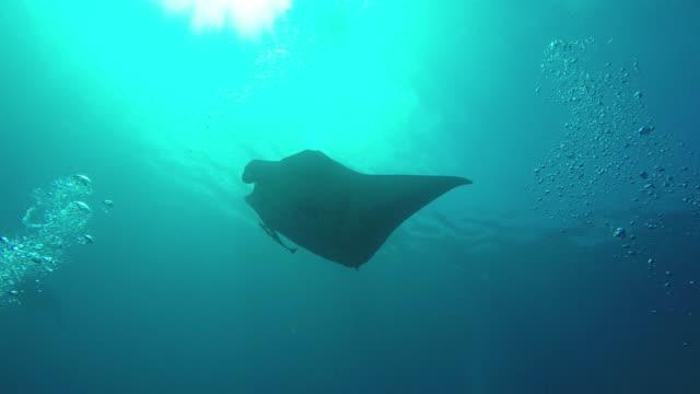 manta ray swimming - manta ray stock videos and b-roll footage