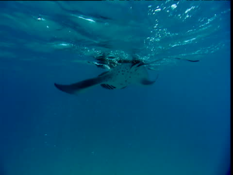 Manta Ray swims away from camera at water's surface, then turns and swims past