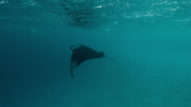 vídeos de stock e filmes b-roll de manta ray swims near ocean surface, indian ocean. - grande raia