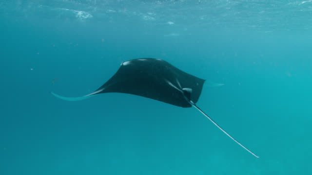 manta ray swims near ocean surface, indian ocean. - manta ray stock videos & royalty-free footage