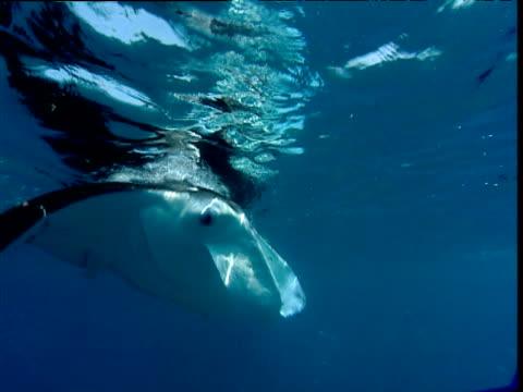 Manta Ray swims past camera