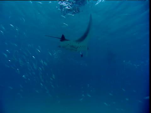 Manta Ray swims through shoal of fish, turns and swims towards camera