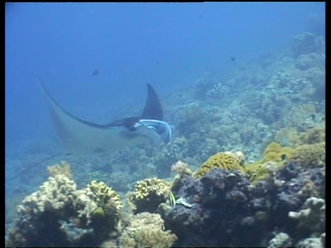 ms manta ray, swims to camera, then past camera, sabah, borneo, malaysia - 優美点の映像素材/bロール