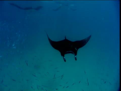 Manta Ray swims underneath the camera