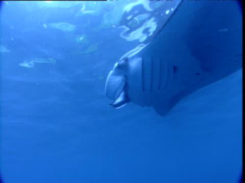 manta ray swims with remoras attached to its head, cocos island, costa rica - 共生関係点の映像素材/bロール