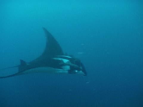 vídeos y material grabado en eventos de stock de manta ray twist under cam - grupo pequeño de animales