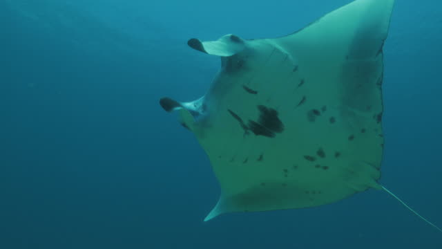 manta ray undersea surface - eagle ray stock videos and b-roll footage