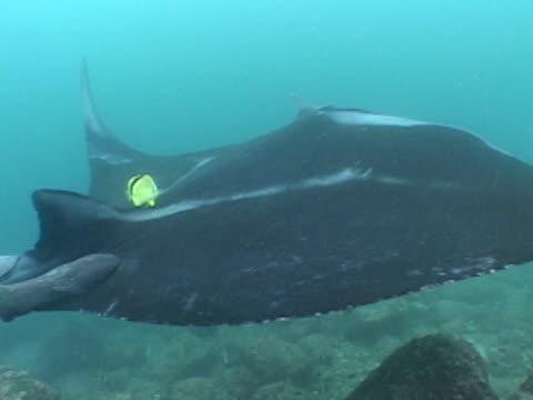 vídeos y material grabado en eventos de stock de manta ray very welcoming manta - grupo pequeño de animales