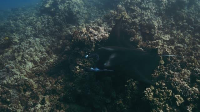 manta ray - manta ray stock videos & royalty-free footage