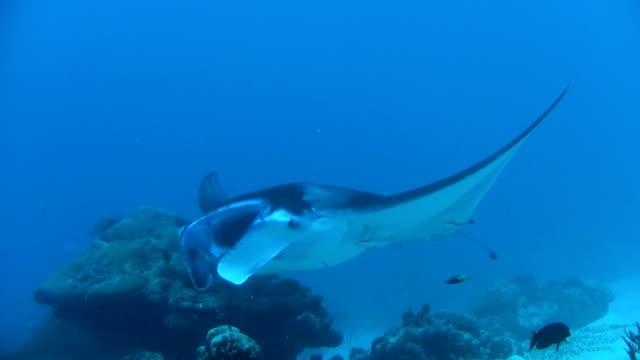 hd: manta ray - manta ray stock videos and b-roll footage