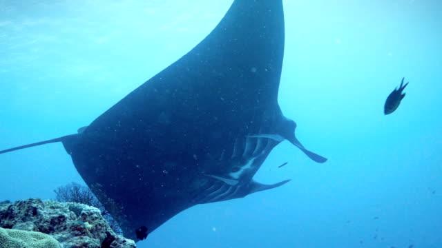 manta ray - manta ray stock videos and b-roll footage