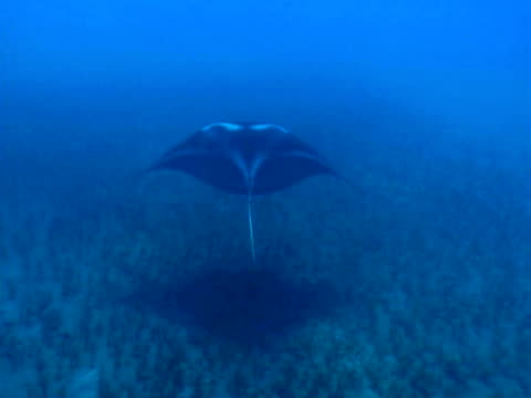 manta ray - stingray stock videos and b-roll footage