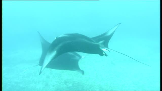 vídeos de stock, filmes e b-roll de manta rays (manta birostris) aggregation swim below camera.  palau, western pacific - grupo pequeno de animais