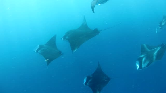 Manta rays are feeding in a line