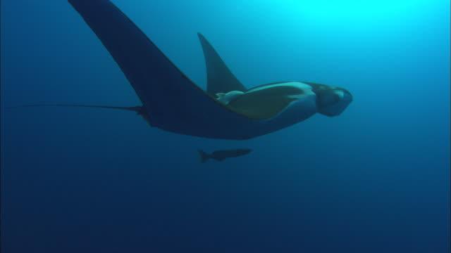 manta rays cephalic lobe, mexico  - manta ray stock videos and b-roll footage
