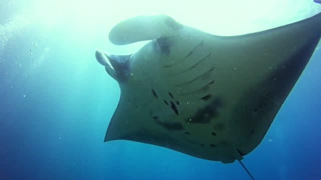 manta rays close up. underwater scenery - underwater camera stock videos & royalty-free footage