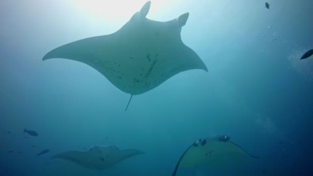 manta rays flying through the ocean