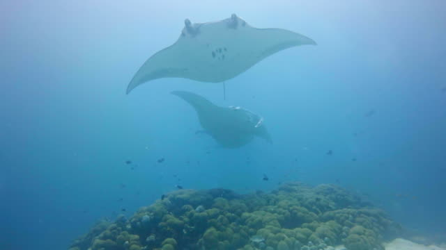 manta rays flying through the ocean - manta ray stock videos and b-roll footage