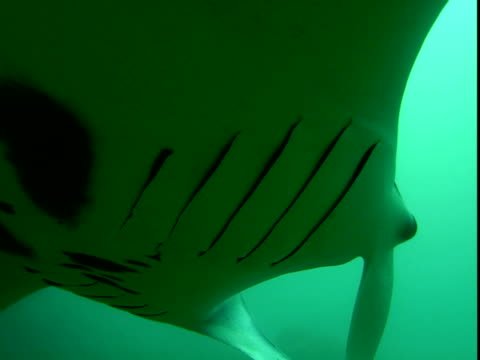 manta rays glide gracefully through murky waters. - gill stock videos & royalty-free footage