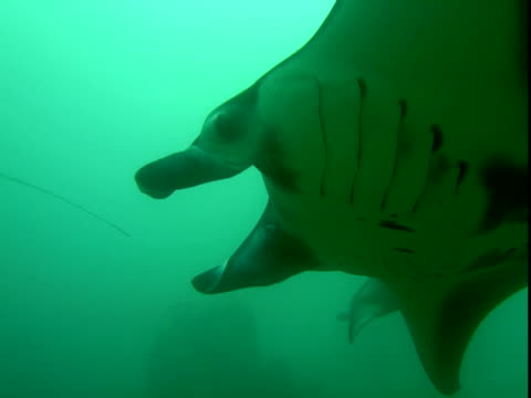 manta rays glide through murky water in the pacific ocean. - gill stock videos & royalty-free footage