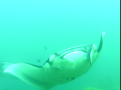 manta rays glide through the pacific ocean. - gill stock videos & royalty-free footage