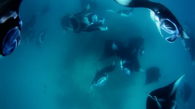 manta rays in hanifaru bay, maldives - manta ray stock videos and b-roll footage