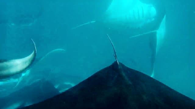 manta rays in hanifaru bay, maldives - トビエイ点の映像素材/bロール