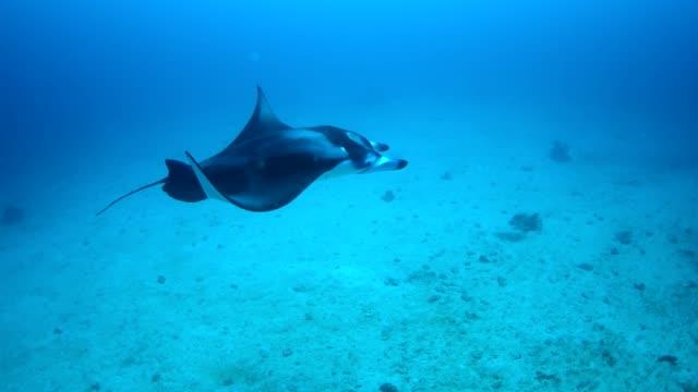 manta rays in hanifaru bay, maldives - manta ray stock videos & royalty-free footage