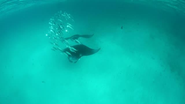 vídeos de stock e filmes b-roll de manta rays in hanifaru bay, maldives - ratão águia