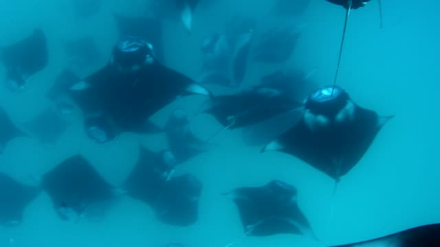 stockvideo's en b-roll-footage met manta rays in hanifaru bay, maldives - voeren