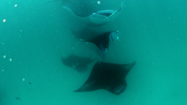 manta rays in hanifaru bay, maldives - feeding stock videos & royalty-free footage