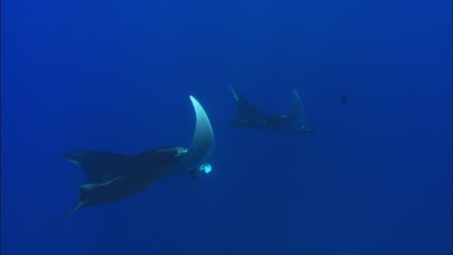 manta rays mexico  - gruppo medio di animali video stock e b–roll