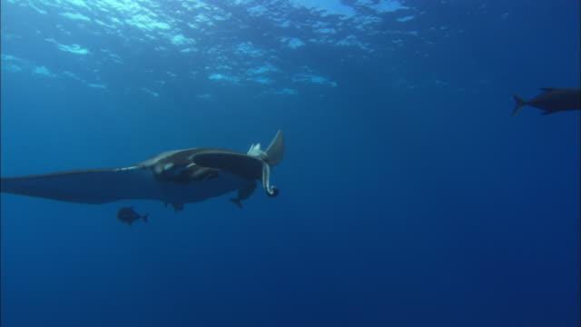 vídeos de stock, filmes e b-roll de manta rays mexico  - grupo pequeno de animais