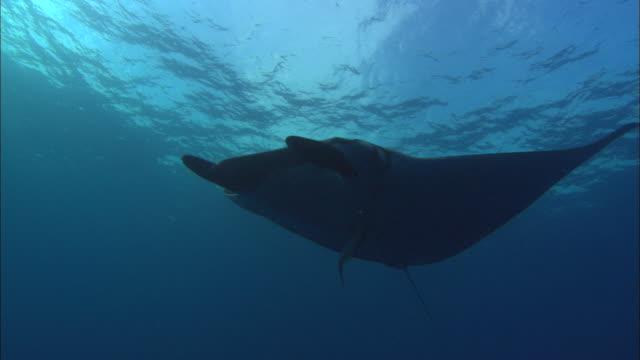 vídeos y material grabado en eventos de stock de manta rays remora, close up, mexico  - rémora