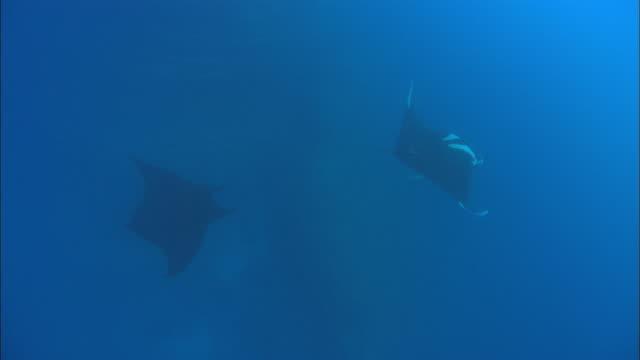 manta rays remora, mexico  - sugfisk bildbanksvideor och videomaterial från bakom kulisserna